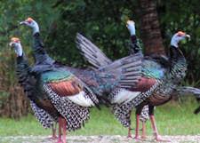 ocellated turkeys