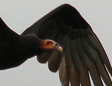 yellow-headed vulture