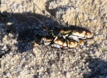 California Tiger Beetles