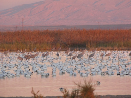 White geese and cranse