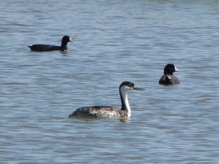 Western Grebe and American Coot