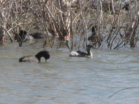 Eared Grebe and American Coot