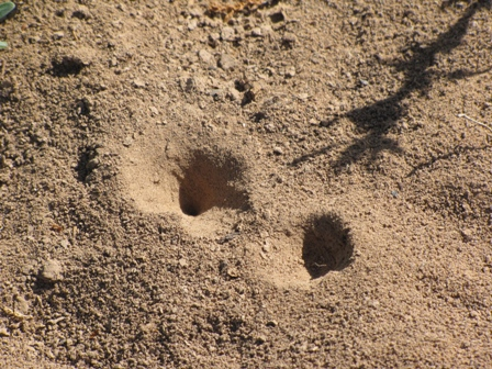 Ant Lion burrows