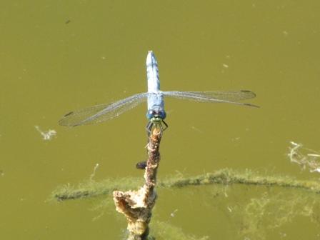 Western Pondhawk male