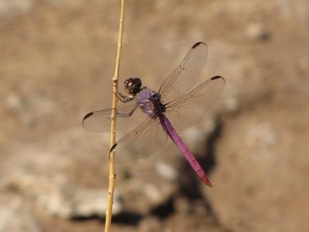 Roseate Skimmer male
