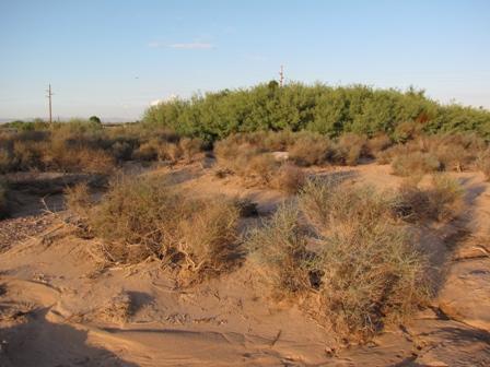 Mesquite Tree habitat