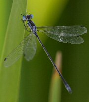 Plateau Spreadwing