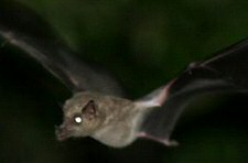 long-nosed bats