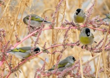 Lawrence's Goldfinches