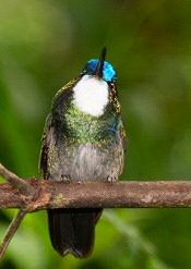 White-throated Mountain Gem