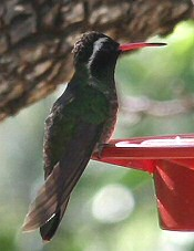 White-eared Humminbird