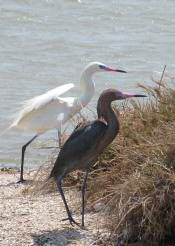 Reddish Egrets (White & Dark Phase)